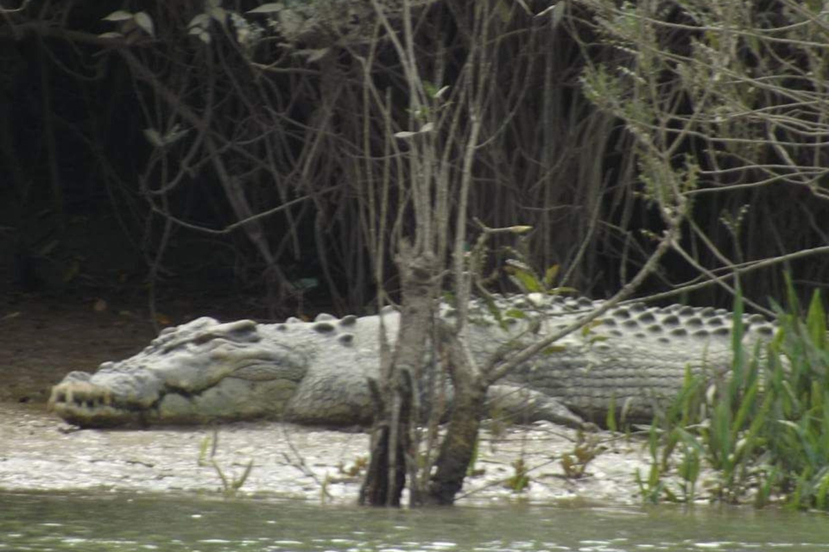 Wildlife of Myanmar, Crocodiles at Mainmahla Kyun