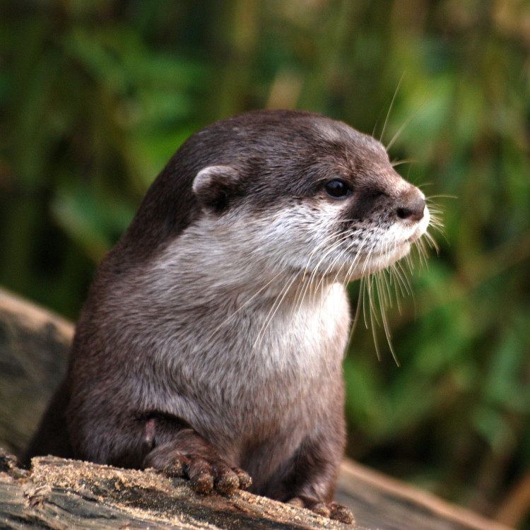 Myanmar-Wildlife-Oriental-Small-Clawed-Otter